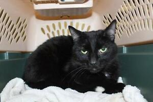 "Young Male Cat - Domestic Short Hair: ""Tippy"""