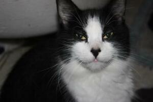 Adult Female  - Domestic Long Hair-black and white