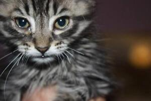 "Young Male Cat - Tabby - Brown: ""Fritz"""