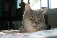 """Young Female Cat - Domestic Short Hair-Tabby: """"Lily"""""""