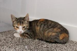 """Baby Female Cat - Calico-Tabby: """"Nadean"""""""