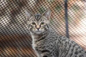 """Young Male Cat - Domestic Short Hair-Tabby: """"Caleb"""""""