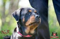 "Adult Female Dog - Rottweiler: ""Goldie"""
