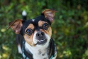 """Adult Female Dog - Chihuahua: """"Daisy and her friend Jasmine"""""""