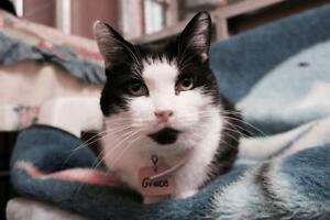 "Adult Female Cat - Tuxedo: ""Grace"""
