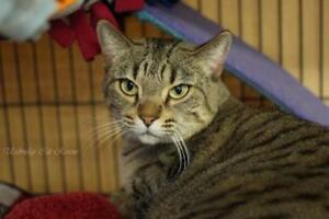 "Adult Female Cat - Tabby: ""Luna"""