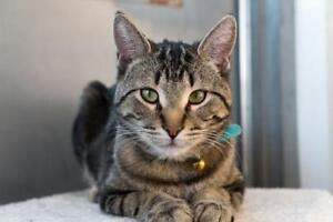 "Young Male Cat - Tabby: ""Kelly"""