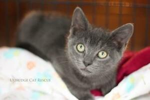 "Baby Male Cat - Domestic Short Hair-Russian Blue: ""Greyby"""