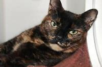 "Adult Female Cat - Domestic Short Hair: ""LC"""
