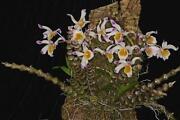 Dendrobium Orchid Plants
