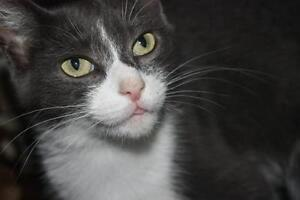 "Adult Female Cat - Domestic Short Hair - gray and white: ""Penny"""