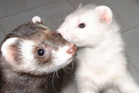 2 cute friendly ferrets for sale *NOT for adoption*