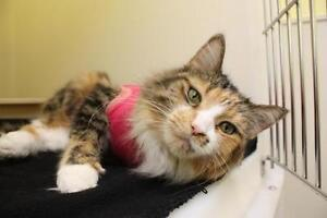 "Adult Female Cat - Calico-Tabby: ""Elaine"""
