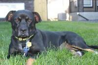 "Adult Female Dog - Rottweiler: ""Harley"""