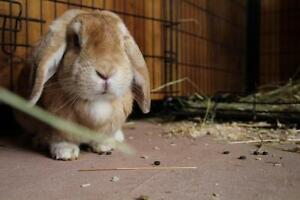 "Young Female Rabbit - Holland Lop: ""Honey"""