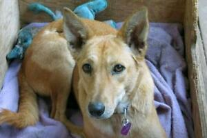 "Adult Female Dog - Shepherd-Whippet: ""Molly"""