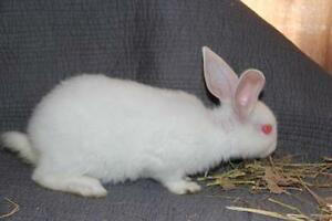 "Young Male Rabbit - New Zealand: ""Dandelion"" Cambridge Kitchener Area image 2"