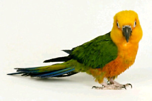 Hand tame  baby Jenday conure