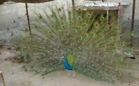 Black Shoulder Peacock For Sale