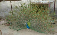 Peacock Feathers -  Real