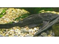 Pleco and cat fish for sale