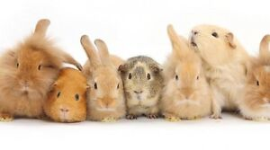 Bunny, ferret and guinea pig nail trims offered Kingston Kingston Area image 1