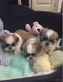 Shitzue puppies for sale