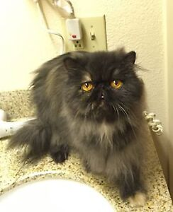3 Year old Grand Champion Persian Girl Looking For Home