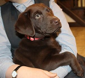 AMAZING CHOCOLATE LAB PUPPY AVAILABLE