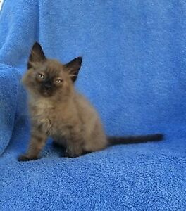 Sphynx/ Snowshoe Siamese Kittens For Sale *4 Available*