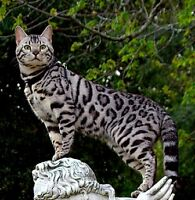 Looking for a silver, charcoal or snow bengal