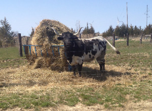MUST GO BY MAY 26: Texas Longhorn Cow