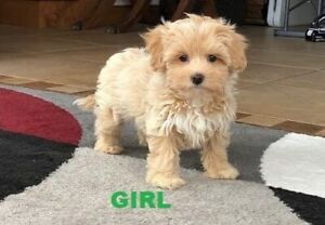 Toy Poodle X Puppies Perth – Wow Blog