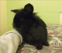 "Baby Female Rabbit - Lionhead: ""Noel"""
