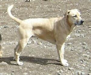 "Adult Male Dog - Mastiff-Labrador Retriever: ""TEEBO"""