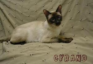 "Adult Male Cat - Siamese: ""Cyrano"""