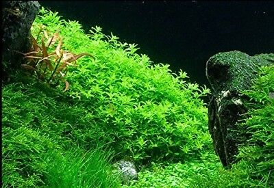 10 Stems Pearl Weed live aquarium plants  Extremely beautiful Free S/H