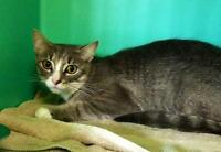 "Adult Female Cat - Domestic Short Hair: ""Duchess"""