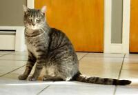 "Young Male Cat - Domestic Short Hair-Tabby - Grey: ""Ernest"""