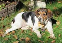 "Adult Female Dog - Beagle: ""Tara"""