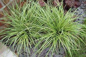 Carex evergold yellow green grass height 20 30cms 11cms for Yellow green ornamental grasses