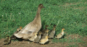 Hatching Eggs-Duck