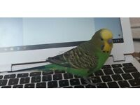 Missing: Green and yellow budgie