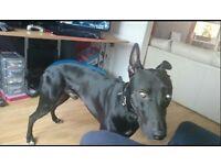 Greyhound Male 15 months
