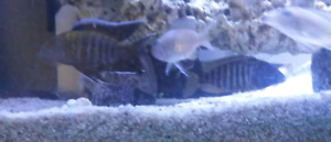 ALL NEW CICHLIDS, PEACOCKS AVAILABLE NOW