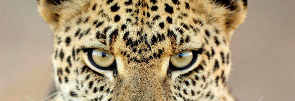 Psychotic Leopard