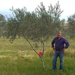 Mature Olive tree Medium size Centre Piece Ipswich City Preview