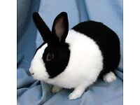 black and white dutch rabbit for sale