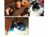 Rabbits and guinea pigs for sale