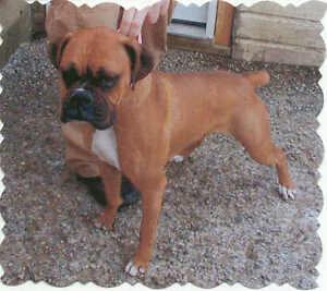 WANTED PUREBRED BOXER MALE PUPPY